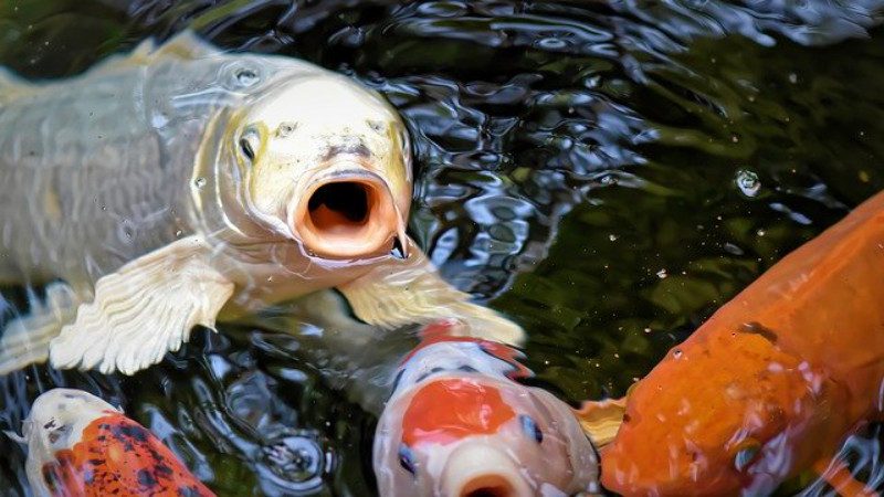 Four Tips for Taking Care of Koi in Your Pond